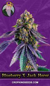 Blueberry X Jack Herer Autoflower Marijuana Seeds