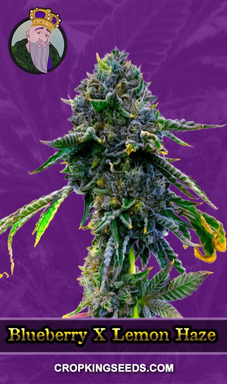 Blueberry X Lemon Haze Autoflower Marijuana Seeds