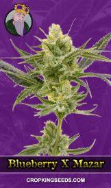Blueberry X Mazar Autoflower Marijuana Seeds