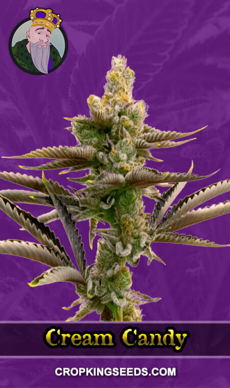 Cream Candy Autoflower Marijuana Seeds