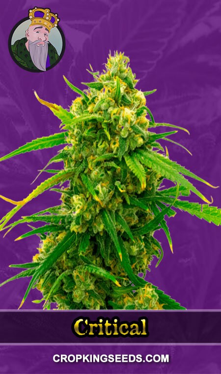 Critical Autoflower Marijuana Seeds