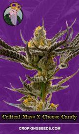 Critical Mass X Cheese Autoflower Marijuana Seeds