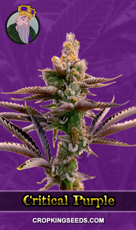 Critical Purple Autoflower Marijuana Seeds