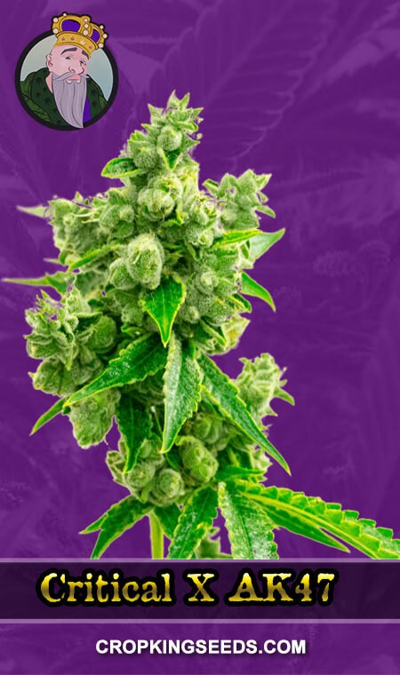 Critical X AK47 Autoflower Marijuana Seeds