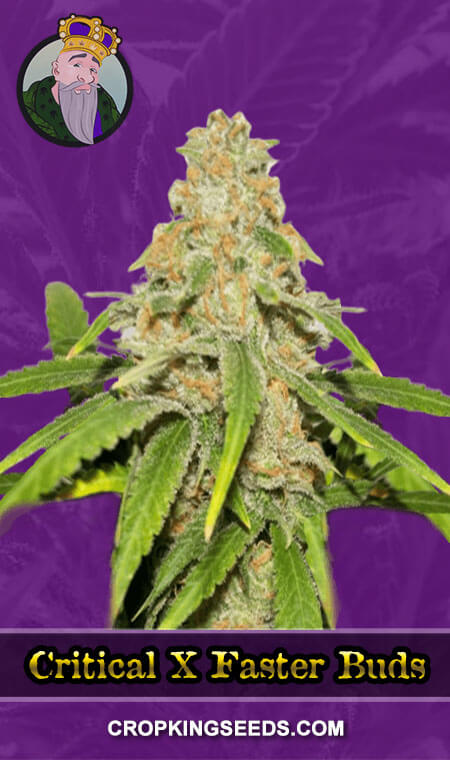 Critical X Faster Buds Autoflower Marijuana Seeds