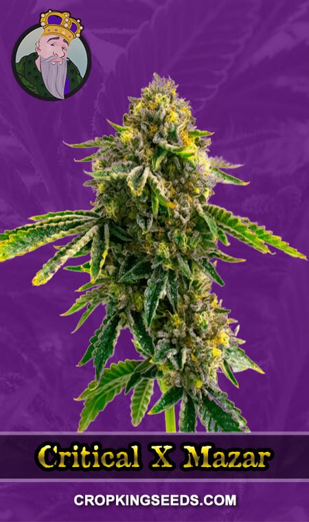 Critical X Mazar Autoflower Marijuana Seeds