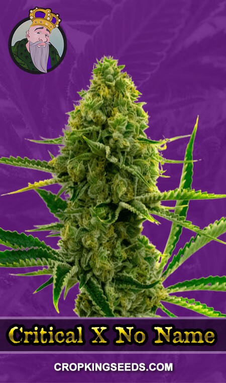 Critical X No Name Autoflower Marijuana Seeds