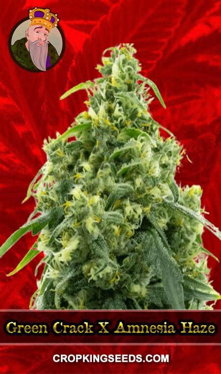 Green Crack X Amnesia Haze Feminized Marijuana Seeds