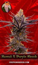 Hawaii X Purple Skunk Feminized Marijuana Seeds