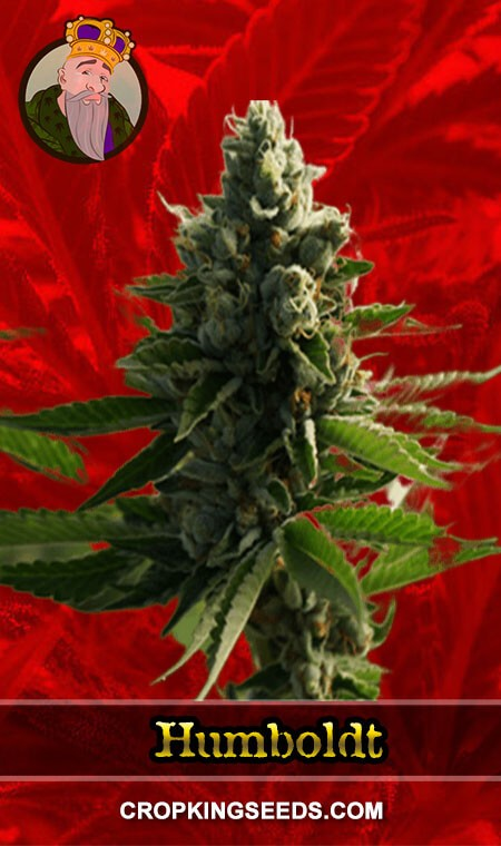 Humboldt Feminized Marijuana Seeds