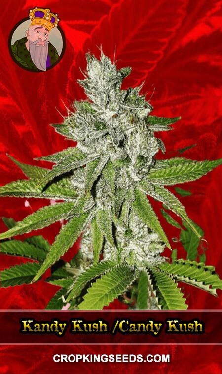 Kandy Kush /Candy Kush Feminized Marijuana Seeds