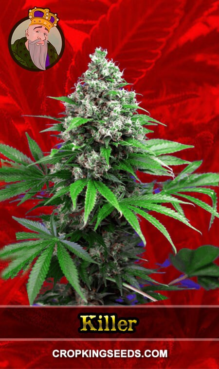 Killer Feminized Marijuana Seeds