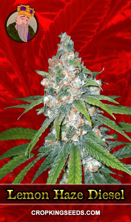 Lemon Haze Diesel Feminized Marijuana Seeds