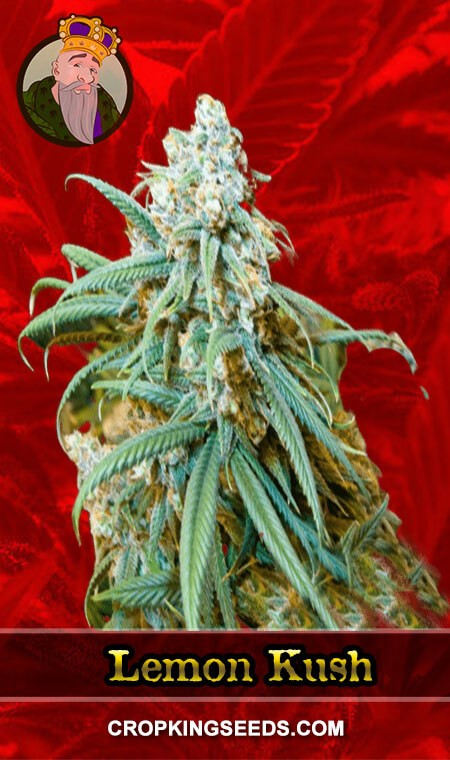 Lemon Kush Feminized Marijuana Seeds