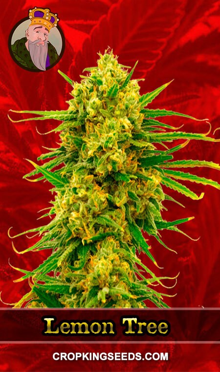 Lemon Tree Feminized Marijuana Seeds