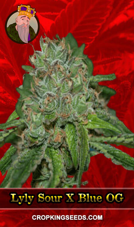 Lyly Sour X Blue OG Feminized Marijuana Seeds
