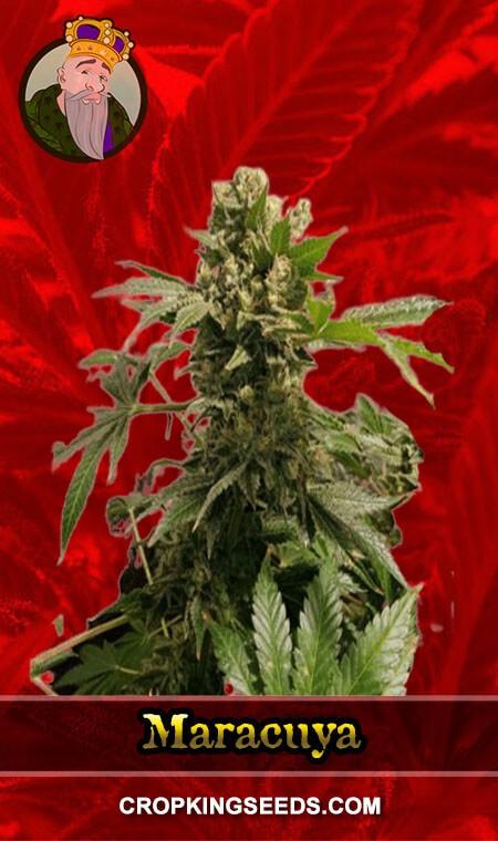 Maracuya Feminized Marijuana Seeds