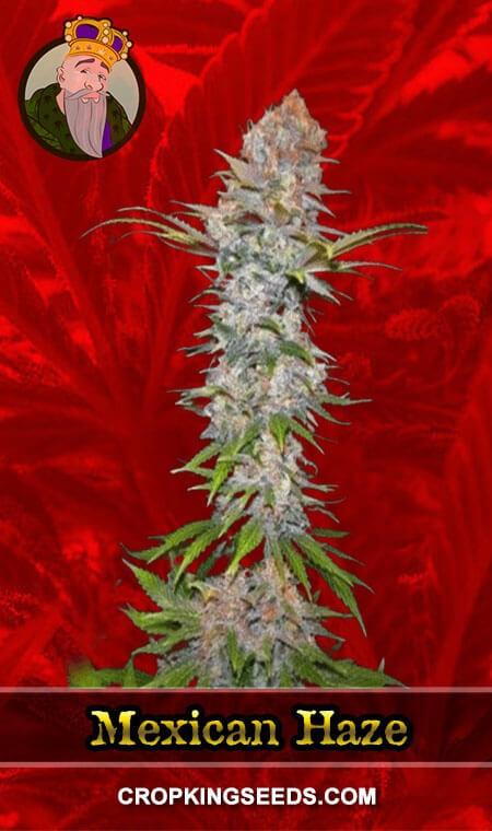 Mexican Haze Feminized Marijuana Seeds