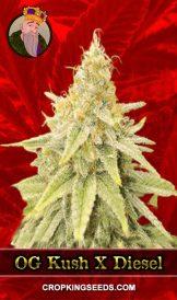 OG Kush x Diesel Feminized Marijuana Seeds