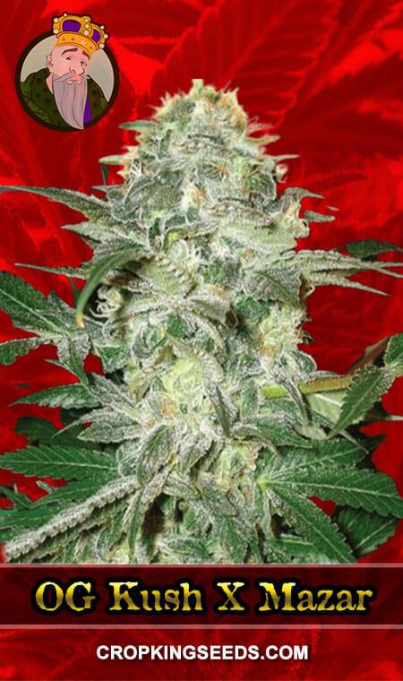OG Kush X Mazar Feminized Marijuana Seeds