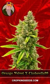 Orange Velvet X Cinderella99 Feminized Marijuana Seeds