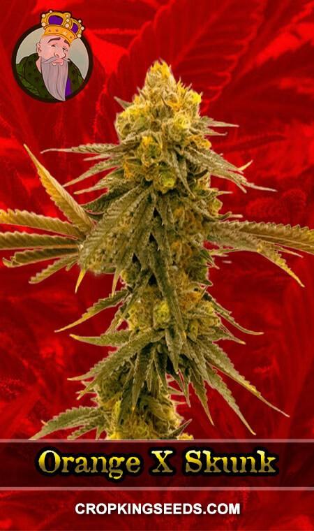 Orange X Skunk Feminized Marijuana Seeds