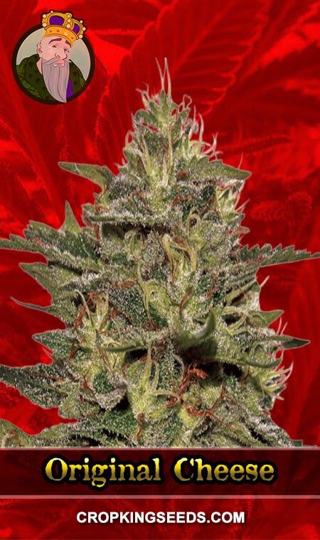Original Cheese Feminized Marijuana Seeds