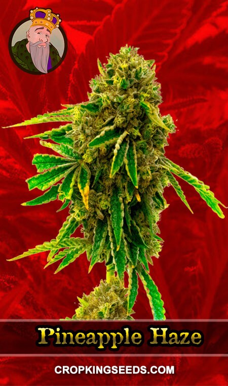 Pineapple Haze Feminized Marijuana Seeds