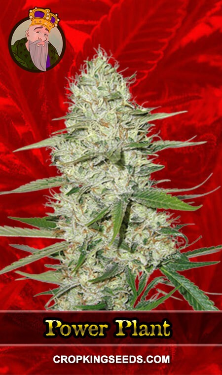 Power Plant Feminized Marijuana Seeds