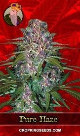 Pure Haze Feminized Marijuana Seeds
