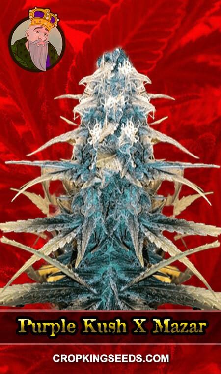Purple Kush X Mazar Feminized Marijuana Seeds