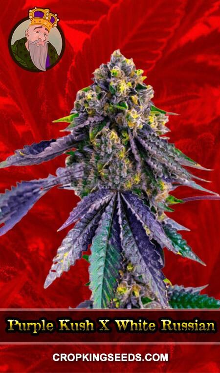 Purple Kush X White Russian Feminized Marijuana Seeds