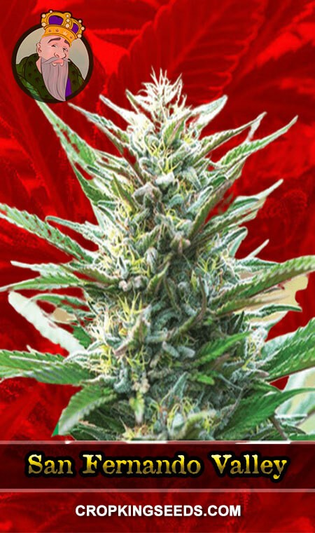 San Fernando Valley Feminized Marijuana Seeds