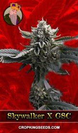 Skywalker x GSC Feminized Marijuana Seeds