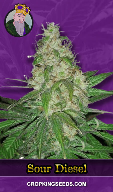 Sour Diesel Autoflower Marijuana Seeds