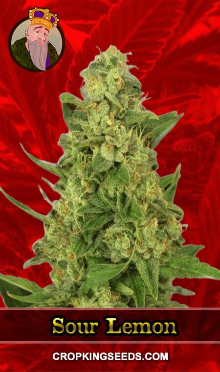 Sour Lemon Feminized Marijuana Seeds