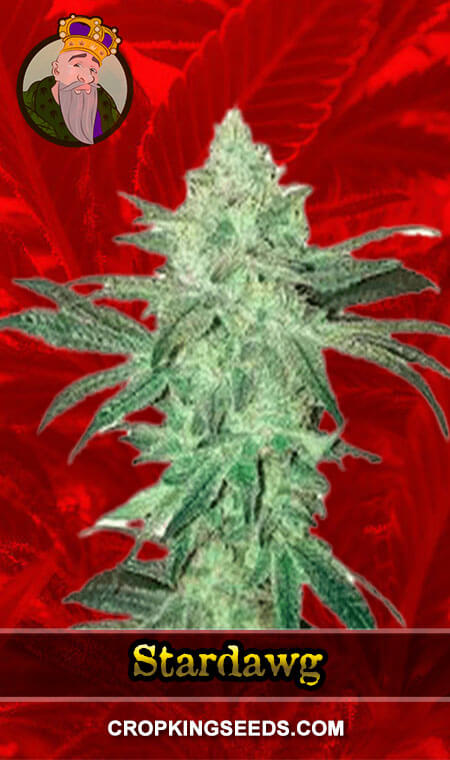 Stardawg Feminized Marijuana Seeds