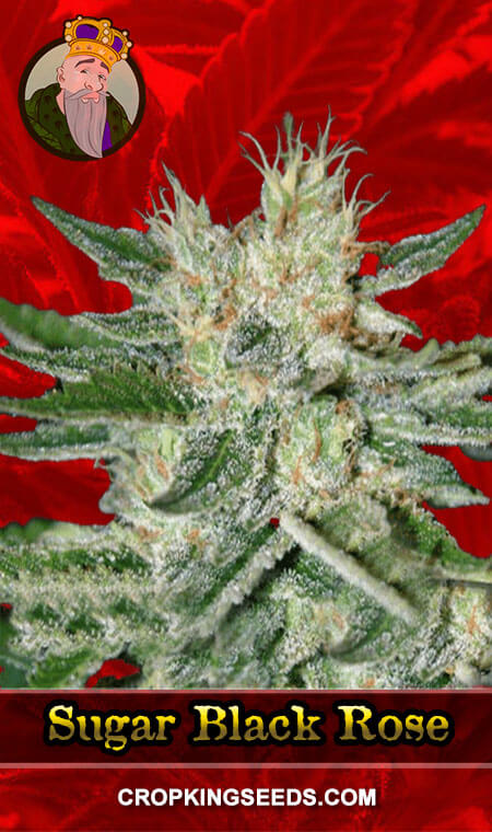 Black Rose Feminized Marijuana Seeds