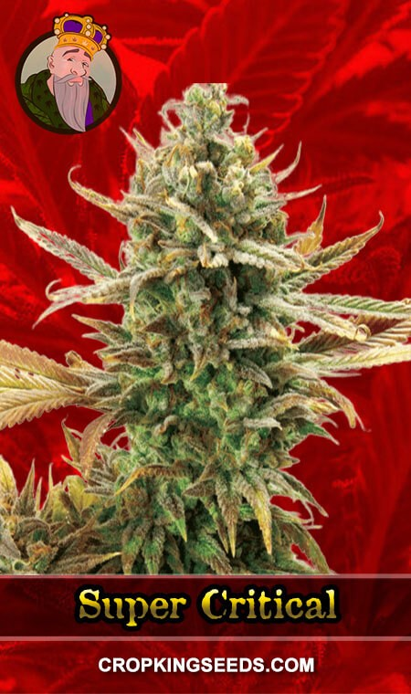 Super Critical Feminized Marijuana Seeds
