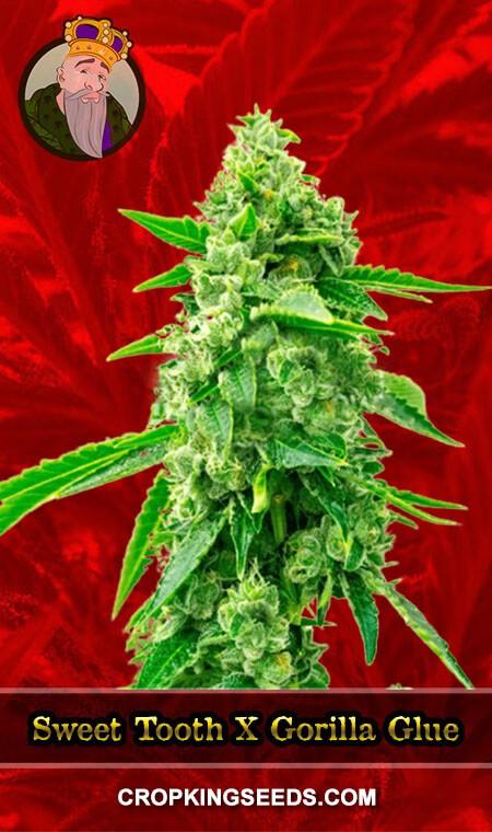 Sweet Tooth x Gorilla Glue Feminized Marijuana Seeds