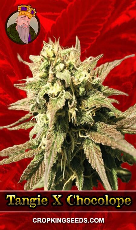 Tangie x Chocolope Feminized Marijuana Seeds