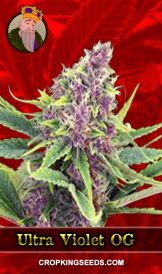 Ultra Violet OG Feminized Marijuana Seeds