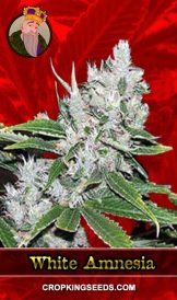 White Amnesia Feminized Marijuana Seeds
