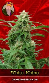 White Rhino Feminized Marijuana Seeds