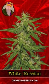 White Russian Feminized Marijuana Seeds
