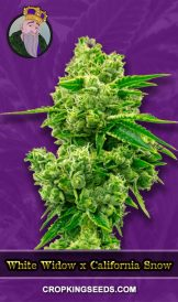 White Widow X California Snow Autoflower Marijuana Seeds