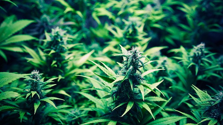 Sea of Green Growing Method