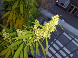 Male Marijuana Plant
