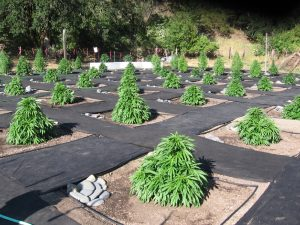 growing feminized strains outdoors