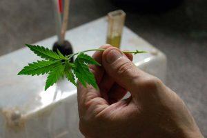 cloning feminized cannabis